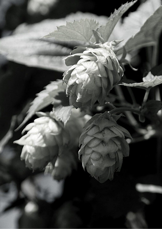 Houblon noir et blanc